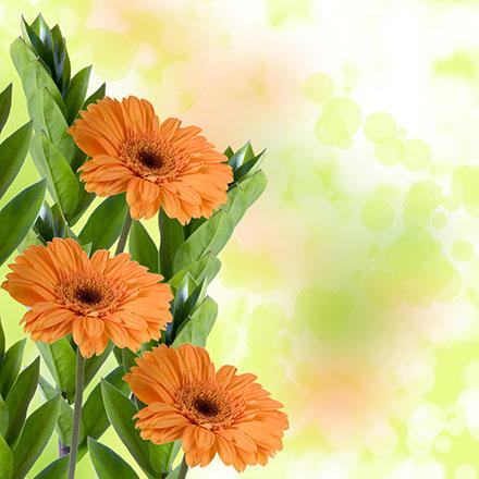 Orange Gerberas